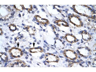 APG4B Antibody