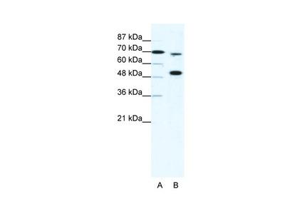 MLL4 Antibody