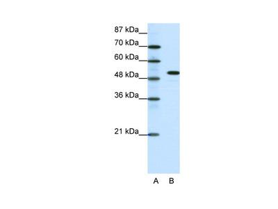 SPIB Antibody
