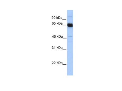 PRKAA1 Antibody