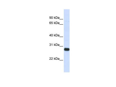 SPINT2 Antibody