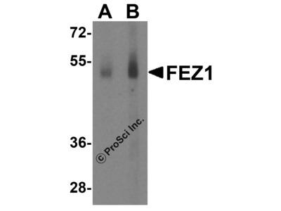 FEZ1 Antibody