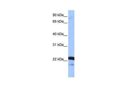 SFRS9 Antibody
