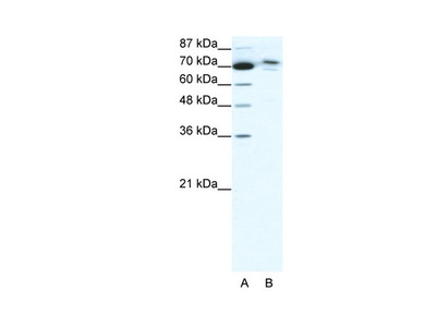 C14orf101 Antibody