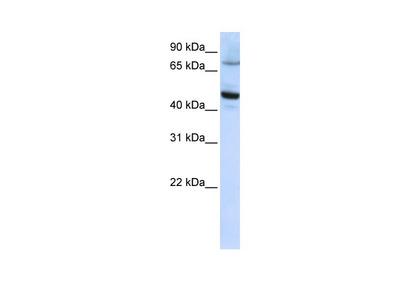 CYP46A1 Antibody