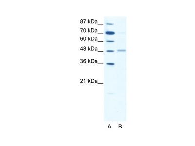 GABRA2 Antibody