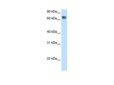LSR Antibody