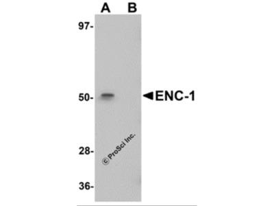 ENC-1 Antibody
