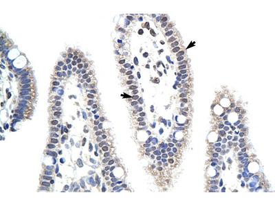 MDS032 Antibody