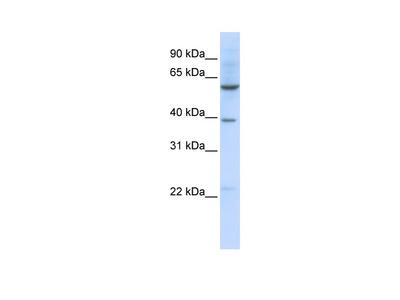 SLC35F3 Antibody