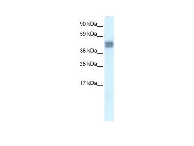 SAP30BP Antibody