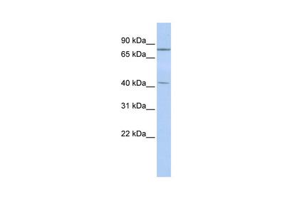 KLHL3 Antibody
