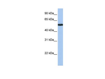 FLJ90709 Antibody
