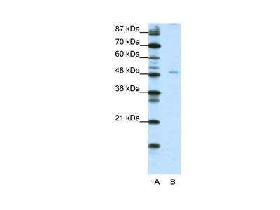 NFIB Antibody