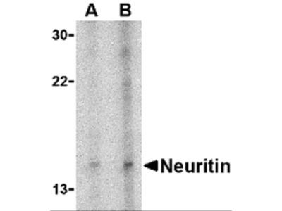 Neuritin Antibody