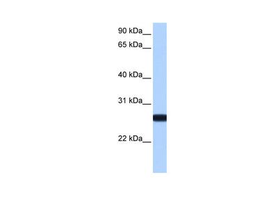 IL13RA2 Antibody