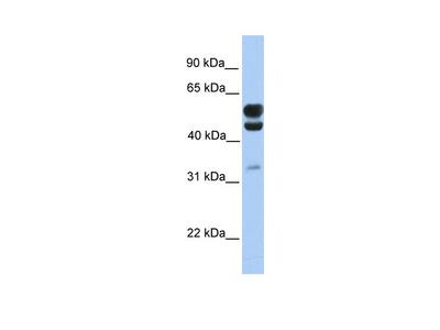 C3orf64 Antibody