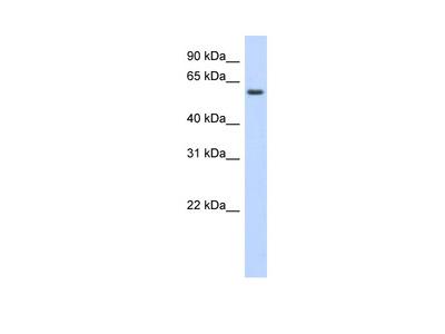 KLHDC5 Antibody
