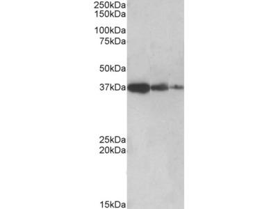PPP2R4 Antibody