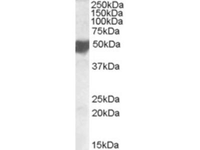 CLMP Antibody