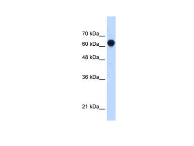 C3orf39 Antibody