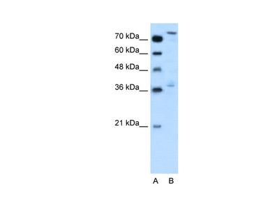 NFE2L3 Antibody