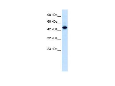 ELF2 Antibody