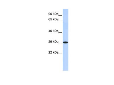 HSD17B14 Antibody