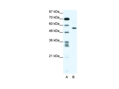RUNX2 Antibody