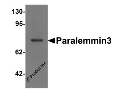 Paralemmin3 Antibody
