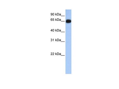 ALAS1 Antibody