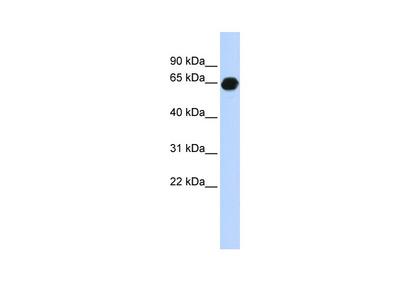 B3GALNT2 Antibody