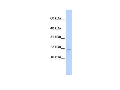 LAIR2 Antibody