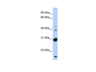 NR0B2 Antibody