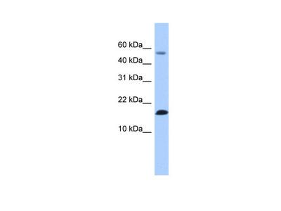 LYZL6 Antibody