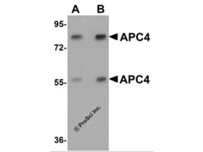 APC4 Antibody