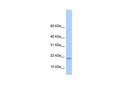 POLR1D Antibody