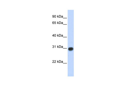 ZMYND19 Antibody