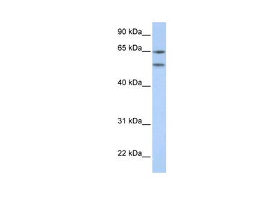 HTR2A Antibody