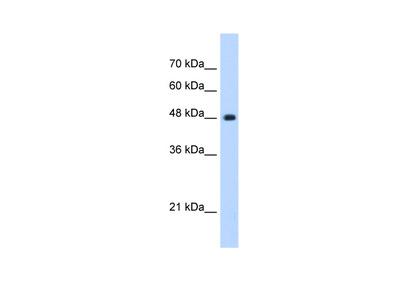 UNC84B Antibody