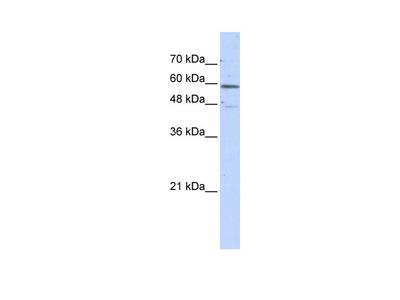 GLUD2 Antibody