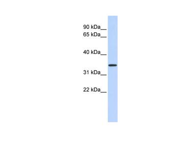 CCDC90A Antibody