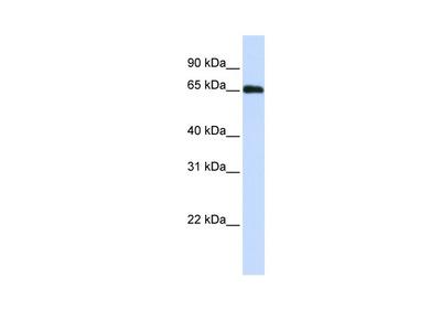 WDR23 Antibody
