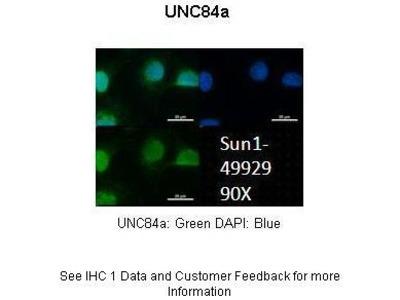 UNC84A Antibody