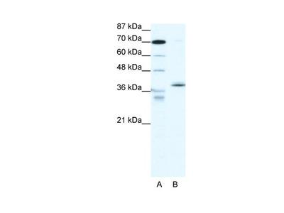 NR2F6 Antibody