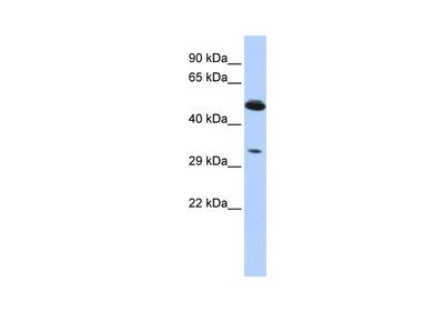 PIK3IP1 Antibody