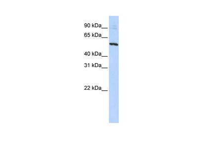 SLC36A2 Antibody