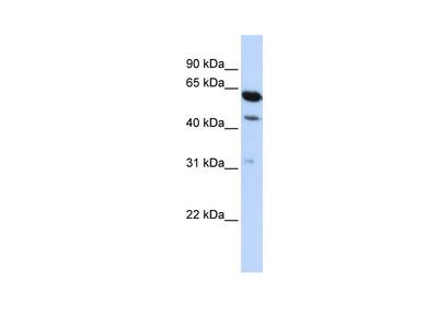 LOC253012 Antibody