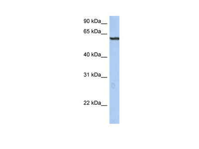 TRIM22 Antibody
