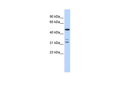 HTRA4 Antibody